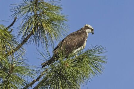 An osprey is perched on a branch in a tree on a sunny day in north Idaho.