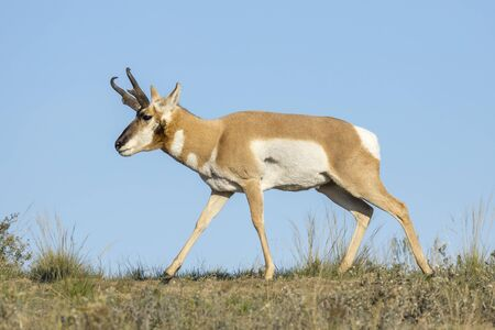 A large pronghorn deer grazes on the prairie land at the National Elk and Bison Range in Montana.