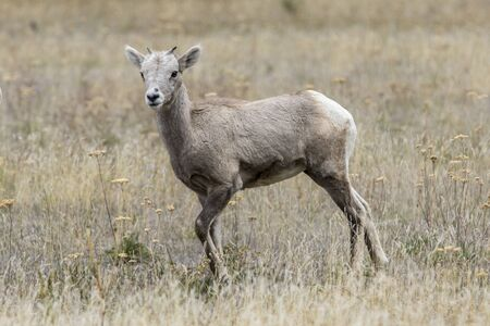 A bighorn sheep lamb stands in a grassy field along hwy 200 just west of Thompson Falls, Montana.