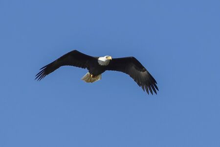 A majestic bald eagle soars up in the brigh blue sky in north Idaho.