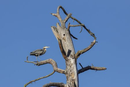 A large great blue heron is perched in a barren tree at Turnbull Wildlife Refuge near Cheney, Washington.