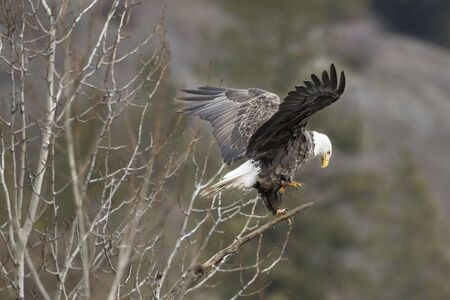 A bald eagle flaps it wings as it repositions itself in north Idaho.