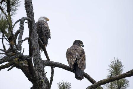An adult and an immature eagle share a tree together near Coeur d'Alene, Idaho.