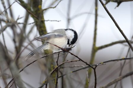 A small black capped chickadee is eating while perched in a twig in Hauser, Idaho.