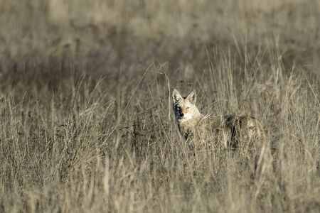 A lone coyote stares at the camera in the tall grass near Coulee City, Washington. 版權商用圖片