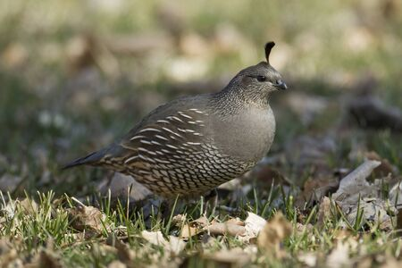 A california quail is searching for food in the grass in a park near COulee City, Washington.