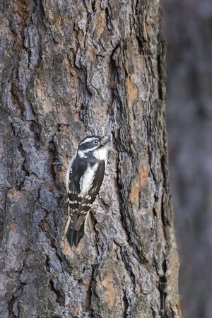 A female downey woodpecker clings to the side of a tree in north Idaho. Stock fotó