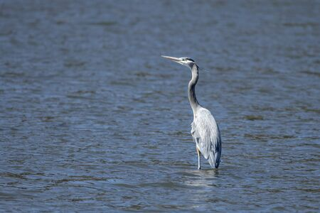 A great blue heron stands on a shallow spot in Fernan Lake in north Idaho.