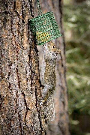 A hungry squirrel raid a bacjyard bird suet cage in north Idaho.