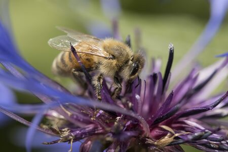 A honeybee gathers pollen from a purple flower in north Idaho. Imagens