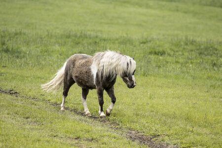 A cute miniature horse walks along a path in a pasture near Coeur d'Alene, Idaho. Imagens