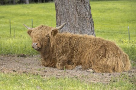 A brown highland cow is resting under a tree in north Idaho.