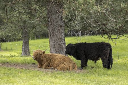 Two highland cows rest by a tree in a pasture near Coeur d'Alene, Idaho.