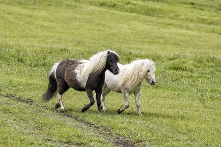 Two miniature horses run in the green pasture near Coeur d'Alene, Idaho.