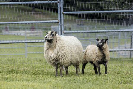 Female Icelandic sheep and a lamb near Coeur d'Alene, Idaho.