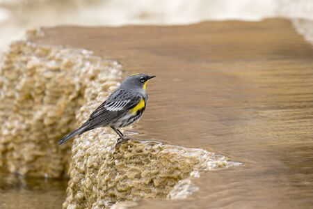 A yellow rumped warbler is perched on a mineral deposit at Mammoth Hot Springs in Yellowstone National Park.