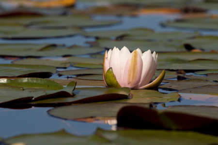 A single water lily among the lilypads in north Idaho.