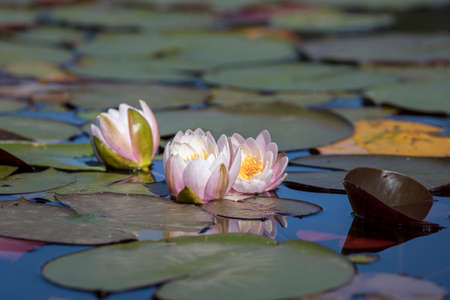 A cluster of water lillies among the lilypads in north Idaho.