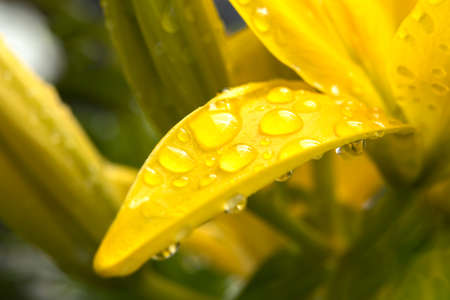 Water drops from rain form on a yellow day lily petal. Stok Fotoğraf