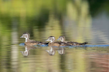 Wood duck chicks swim in the water in a small lake in north Idaho.