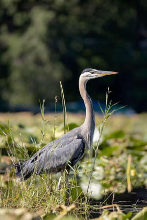 A great blue heron is wading in a pond in north Idaho.