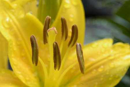 Close up of a day lily with rain drops on it. Stok Fotoğraf