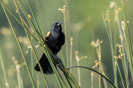A red winged black bird is perched on a reed in a wetlands area in north Idaho.