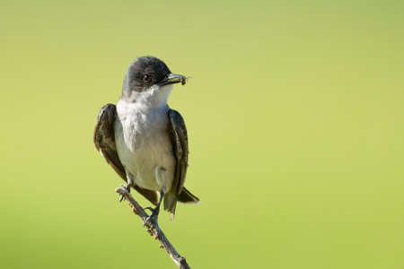 An eastern kingbird perched on a twig in eastern Washington has an insect in its beak.