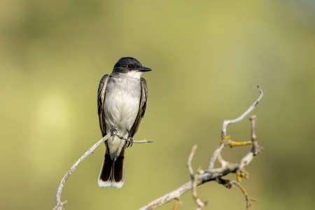 An eastern kingbird is perched on a twig at a park in eastern Washington.