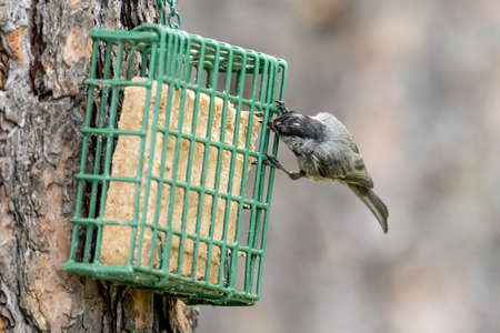 A cute mountain chickadee feeds from the suet cage in Idaho.
