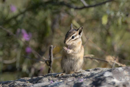 A cute chipmunk stands on a large rock at Farragut State Park in north Idaho. Stok Fotoğraf