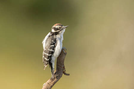 A downy woodpecker is perched on a bare branch at Farragut State park in north Idaho.