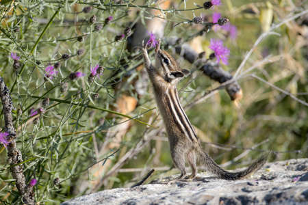 A cute chipmunk reaches up to get the flower at Farragut State Park in north Idaho.