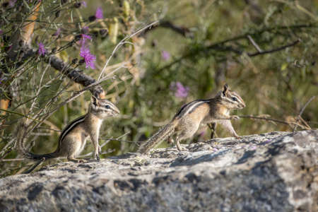 Two chipmunks play on a large rock at Farragut State Park in north Idaho.
