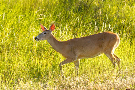 A female deer backlit by the morning sun at Farragut State Park in north Idaho. Stok Fotoğraf