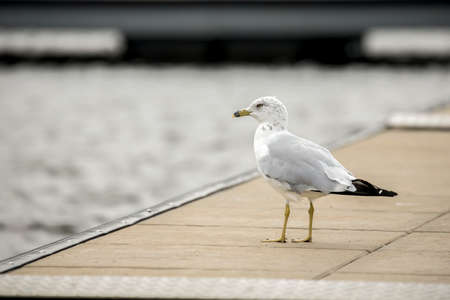 A cute seagull stands on a wooden pier at Hauser lake in north Idaho. Stok Fotoğraf
