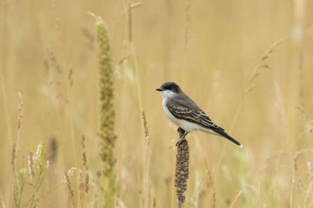 An eastern kingbird is perched on a cattail at Kootenai Wildlife Refuge in Bonners Ferry, Idaho.