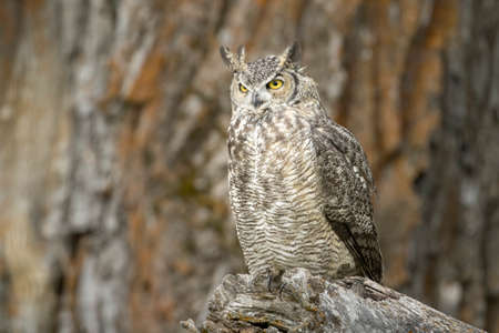 A great horned owl on a stump in front of a tree at Kootenai Wildlife Refuge in Bonners Ferry, Idaho.