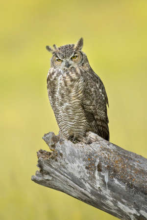 A great horned owl perched on a stump at the Kootenai WIldlife Refuge near Bonners Ferry, Idaho.