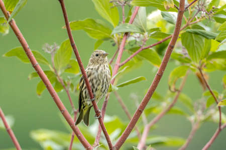 A cute savannah sparrow is perched on a small branch near Bonners Ferry, Idaho. Stok Fotoğraf