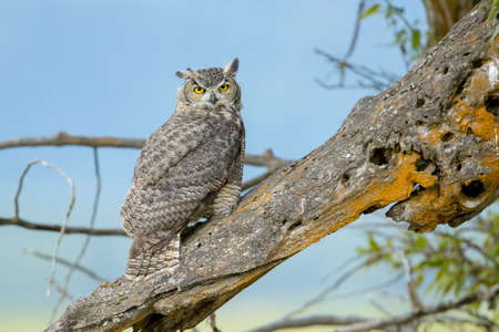 A great horned owl on an old log with the blue sky in the background at Kootenai Wildlife Refuge in Bonners Ferry, Idaho.