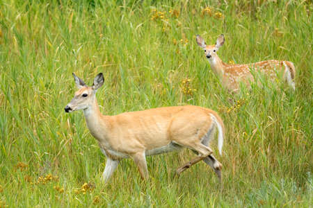 A white tail deer mom and its fawn in the grass at Kootenai Wildlife Refuge in Bonners Ferry, Idaho.