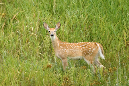 A young yearling white tail deer in the grass at Kootenai Wildlife Refuge in Bonners Ferry, Idaho. Stok Fotoğraf