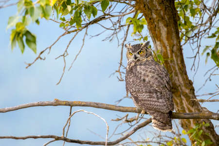A great horned owl on a branch with the blue sky in the background at Kootenai Wildlife Refuge in Bonners Ferry, Idaho.