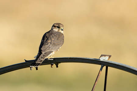 A small merlin falcon perched on an irrigation wheel in north Idaho.