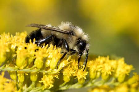 A honeybee gathers pollen from yellow flowers at Manito Park in Spokane, Washington. Stok Fotoğraf
