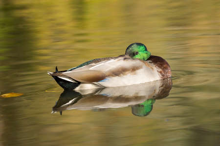 A male mallard duck rests in calm water at Cannon Hill Park in Spokane, Washington USA. 版權商用圖片