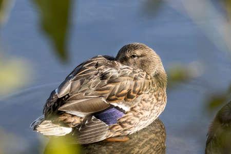 Female mallard duck rests in the shallow water at Cannon Hill Park in Spokane, Washington USA. 版權商用圖片