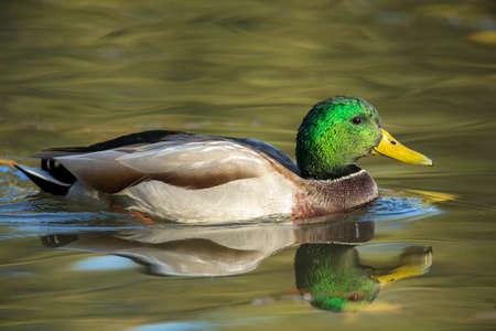 A male mallard duck swims in calm water at Cannon Hill Park in Spokane, Washington USA.