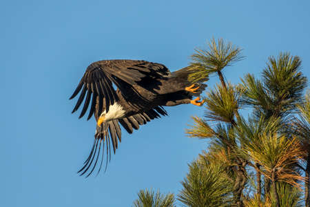 A bald eagle flies off from a tree top on a clear day in north Idaho.